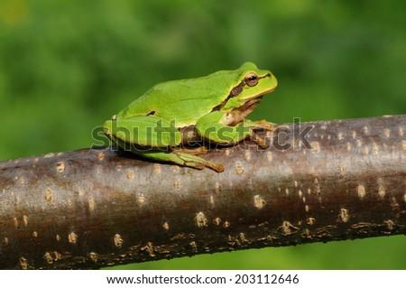 European tree frog (Hyla arborea formerly Rana arborea) - stock photo