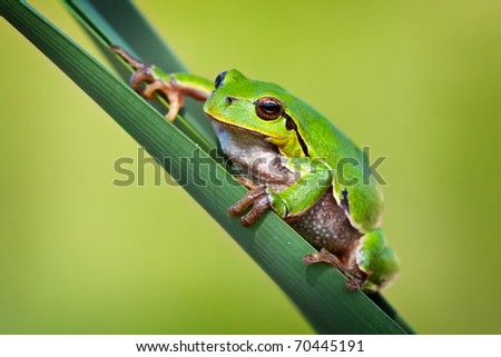European tree frog (hyla arborea) sitting on a cane.