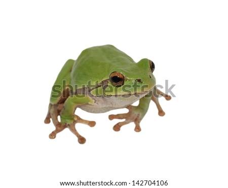 European tree frog isolated on white background, Hyla arborea - stock photo