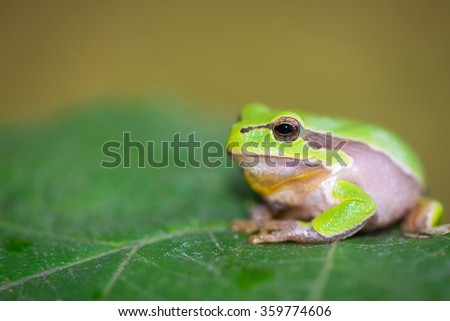 European tree frog on a leaf