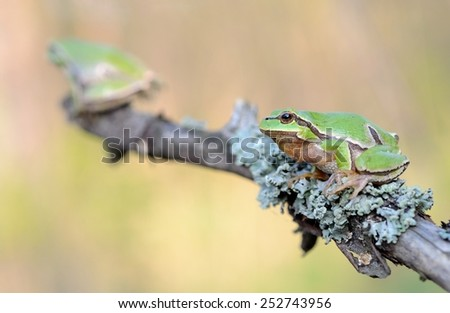 European tree frog on the branch - stock photo