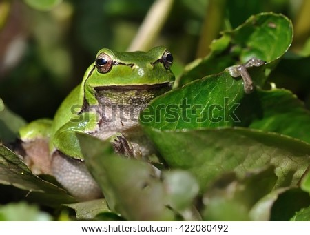 European Treefrog - Hyla arborea in the small pond, singing frog