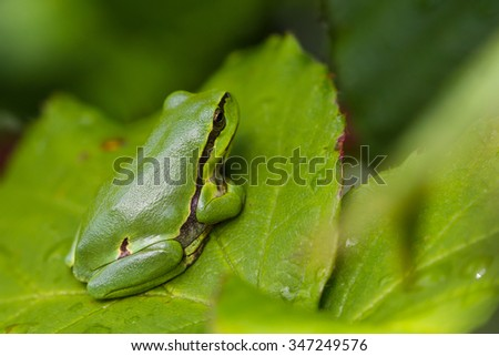 European Treefrog (Hyla arborea) sits in the sun on a branch of a blackberry - stock photo
