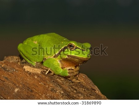 European treefrog sitting or laying relaxed