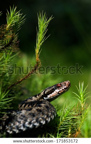 European viper. Common Viper prepares for a throw. Vipera berus, the common European adder or common European viper, is a venomous viper species that is extremely widespread.   - stock photo