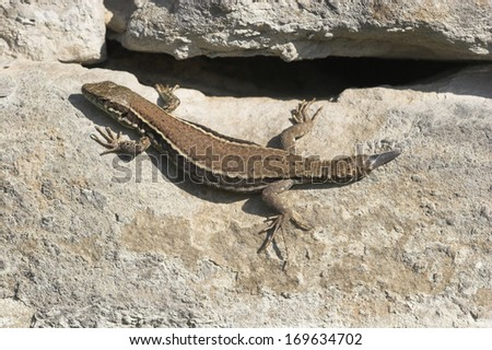 European wall lizard, Germany - stock photo