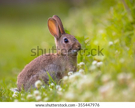European Wild rabbit (Oryctolagus cuniculus) in lovely green vegetation surroundings with white flowers - stock photo