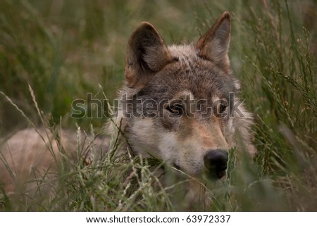 European Wolf hiding in the long grass - stock photo