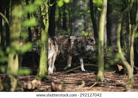 European Wolves in the Forest