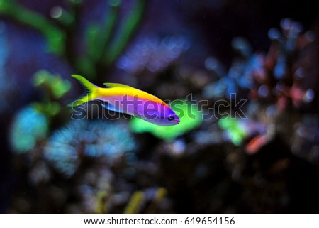 Evansi Anthias in reef aquarium tank