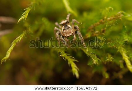Evarcha - Jumping spider - stock photo