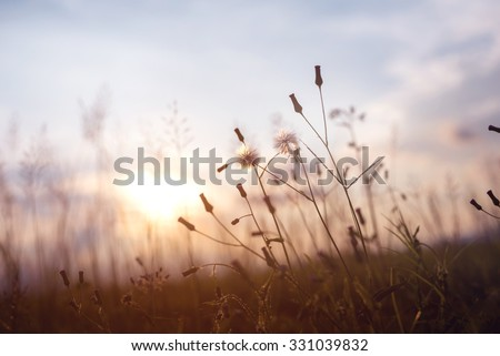 evening autumn nature background, beautiful meadow dandelion flowers in field on orange sunset. vintage filter effect
