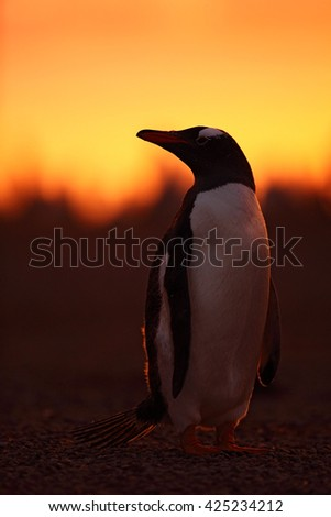 Evening penguin scene in the orange sunset. Beautiful gentoo penguin with sun light. Penguin with evening light. Open penguin bill. Young with adult. Penguins in the nature. Antarctica - stock photo