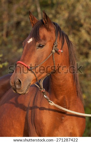 Evening portrait of bay horse in autumn