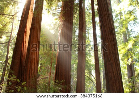 Evening sun light in Muir Woods National Monument, California. USA - stock photo