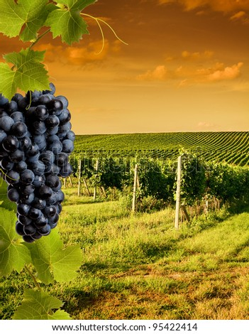 Evening view of the vineyards at sunset - stock photo
