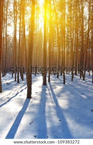 evening winter pine tree forest - stock photo