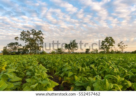 Evening with clear blue sky in tobacco field.