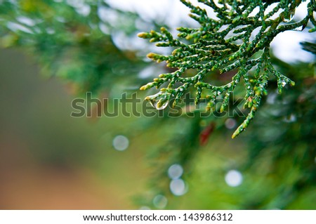 Evergreen coniferous branch with rain drops at the blurred background - stock photo