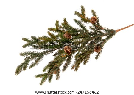 evergreen fir tree branch on white for design - stock photo