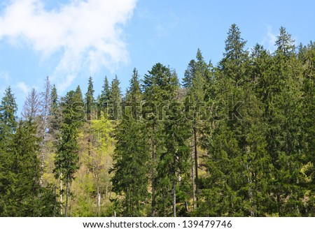 Evergreen pine forest background with tall trees growing on a mountain slope - stock photo