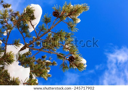 Evergreen pine tree winter snow branch on a blue sky background - stock photo