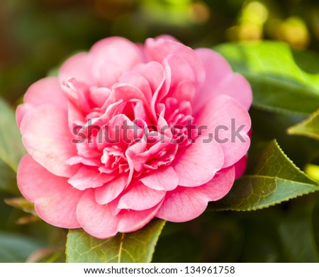Evergreen shrub large pink flowers spring stock photo royalty free evergreen shrub with large pink flowers from spring onwards mightylinksfo