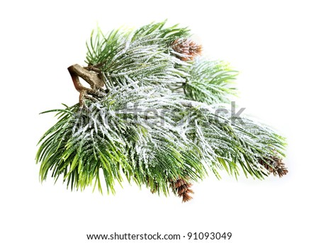 Evergreen spruce tree with fresh snow isolated - stock photo