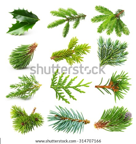 Evergreen tree branch set isolated on white background. - stock photo