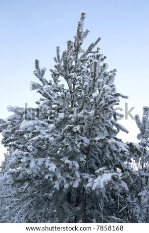 evergreen tree covered by a snow on a background of the clear sky - stock photo