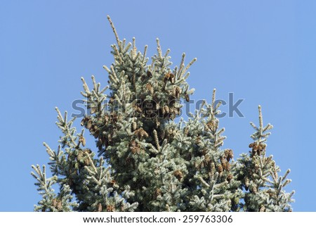 evergreen tree with pine cones on a sunny day - stock photo