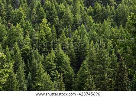 Evergreen trees - stock photo