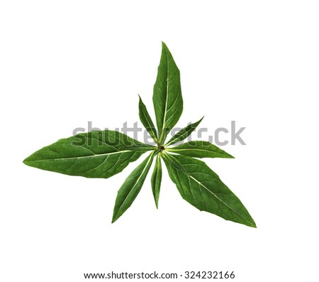 Everning Primrose Leaf isolated on white background,  - stock photo