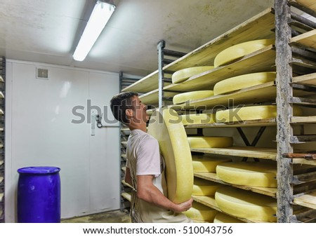 Evillers, France - August 31, 2016: Worker removing aging Gruyere de Comte Cheese from the wooden shelf in ripening cellar in Franche Comte dairy in France