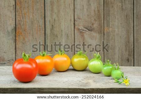 Evolution of red tomato - maturing process of the fruit - stages of development - stock photo