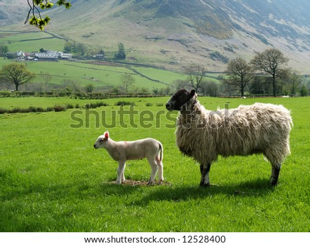 Ewe and lamb on farmland in English Lake District  on a sunny spring day
