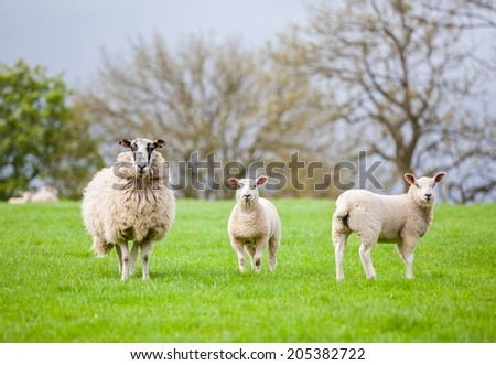 Ewe Sheep with two fat lambs - stock photo