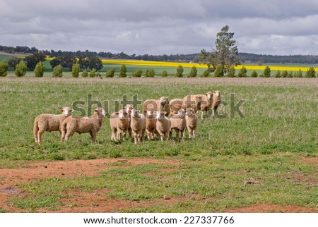 ewes with their lambs in a grass pasture - stock photo