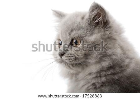excited british kitten isolated - stock photo