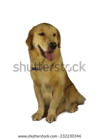 excited golden retriever isolated in white background with clipping path - stock photo
