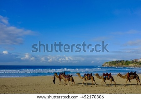 Exciting Unusual Exotic Camels being Led Across a Picturesque Beach.
