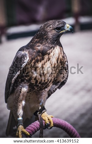 exhibition of birds of prey in a medieval fair, detail of beautiful imperial eagle in Spain - stock photo