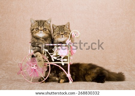 Exotic and Persian kittens sitting inside white metal cart decorated with floral ribbons bows and silk flowers on beige background   - stock photo