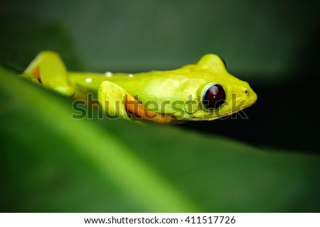 Exotic animal, Flying Leaf Frog, Agalychnis spurrelli, green frog sitting on the leaves, tree frog in the nature habitat, Corcovado, Costa Rica - stock photo