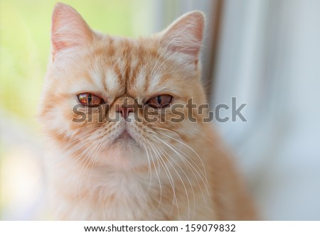Exotic cat close up photo. Animal portrait - stock photo