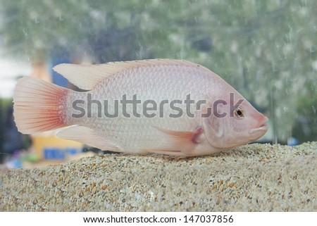 Exotic fish in aquarium close-up, isolated