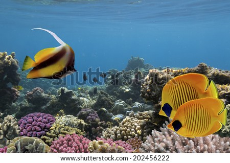 Exotic fishes, Underwater world Red Sea, Egypt. - stock photo