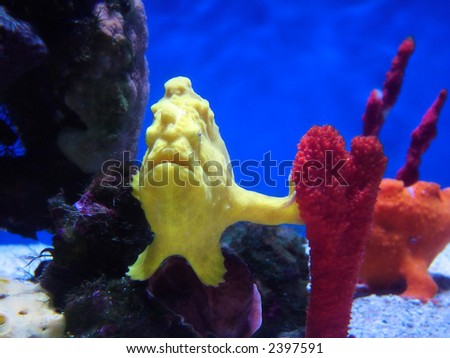 Exotic frogfish in its natural habitat