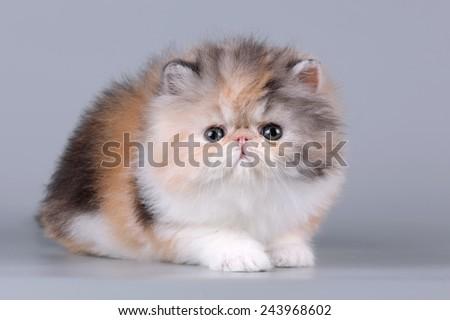 exotic kitten - stock photo