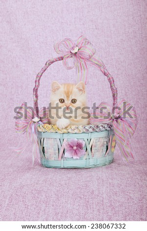Exotic kitten sitting inside blue and pink basket on pink background  - stock photo